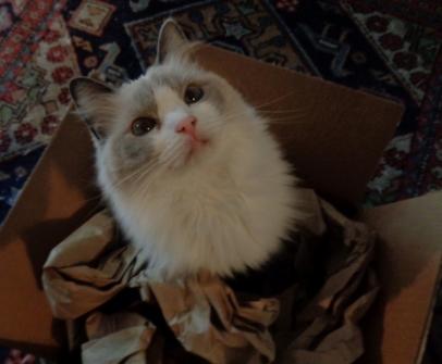 Athena The Siamese Angora Mix Cat Adopted By Lisa Mason The